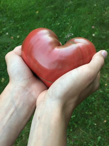 Hands holding a heart-shaped tomato.