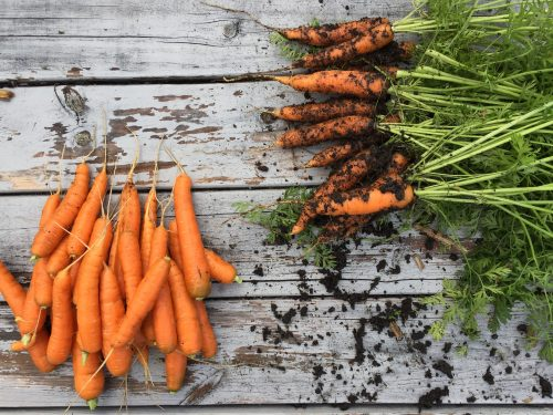 Two bunches of carrots against wood background.