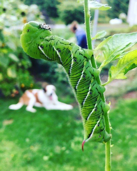 A large green hornworm climbs a plant stalk.