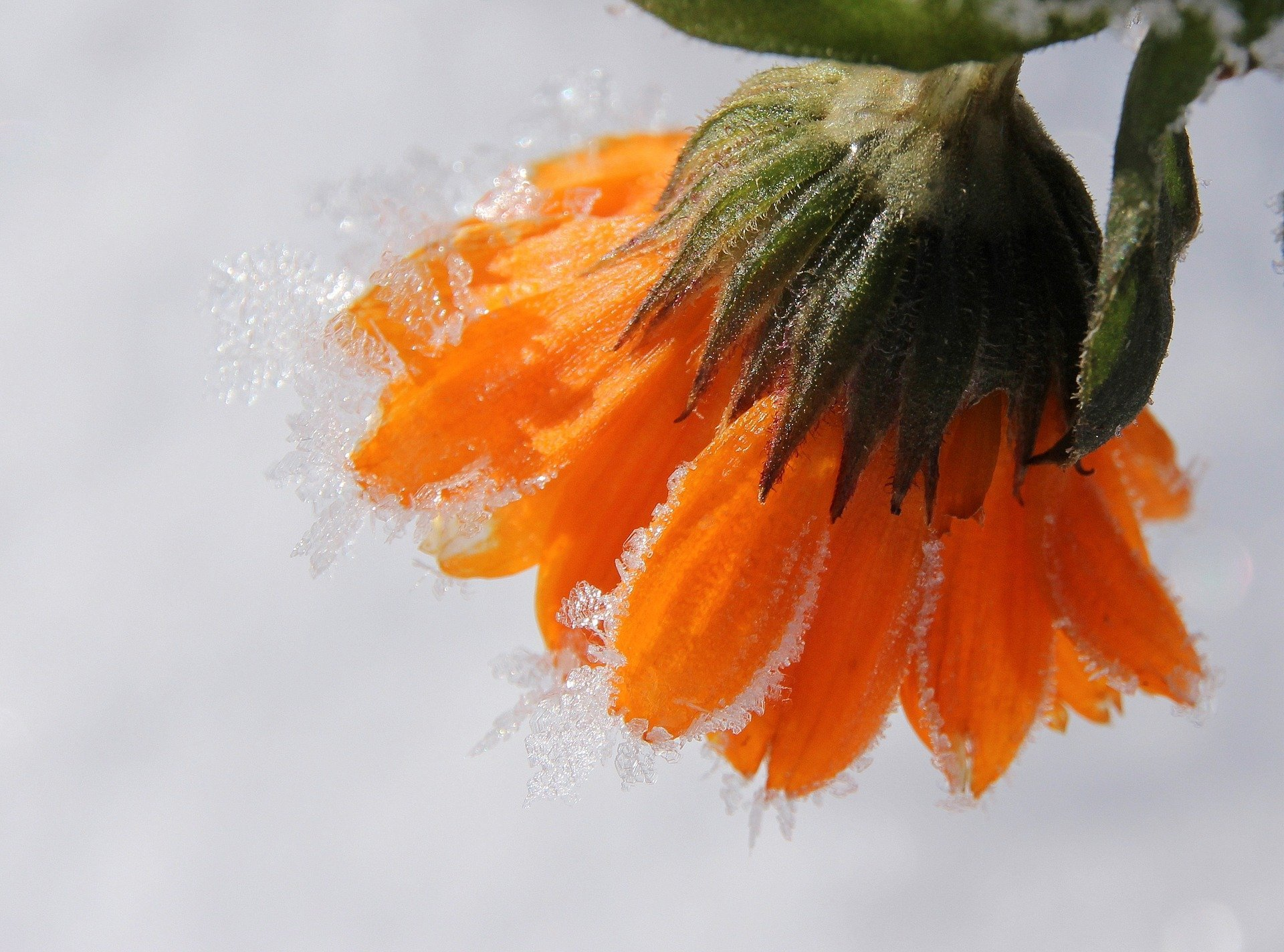 Close-up image of marigold petals with frost.