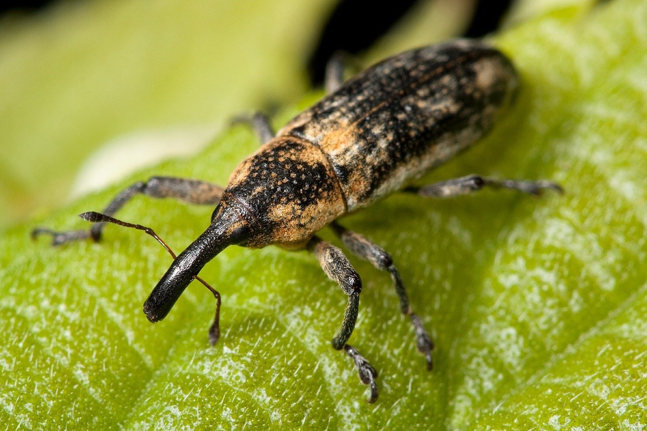 Close up of a weevil on a green leaf.