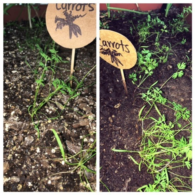 Side-by-side photo of carrot sprouts in different soil.