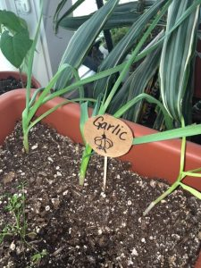 Garlic shoots in potting soil