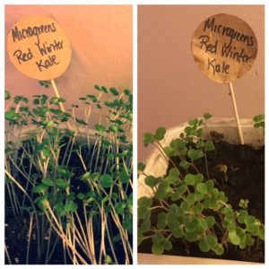 Side-by-side photo of red winter kale sprouts in different soils.