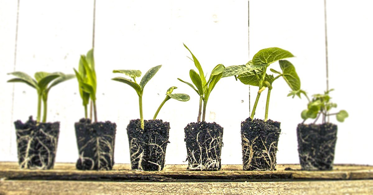 6 seedlings on a wooden pallet with lots of roots visible.